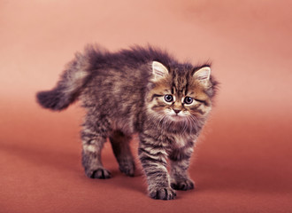 fluffy Siberian cat isolated on a brown background