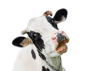 Aluminium Prints Cow Funny cute cow isolated on white. Talking black and white cow. Funny curious cow. Farm animals. Pet cow on white.
