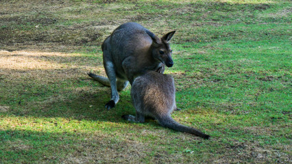 kangaroo in zoo of Prague
