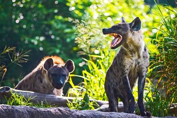 Photo sur Plexiglas Hyène Spotted hyena