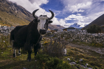 yak on the way to Everest base camp. Local aminal in Nepal. Dingboche. Nepal.