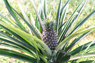 Pineapples are grown in Prachuap Khiri Khan Thailand.