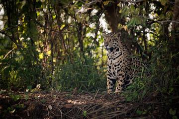 Jaguar sitting in trees in dappled sunlight