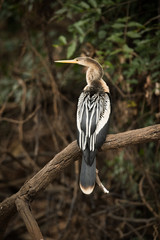 Anhinga perched on dead branch facing left