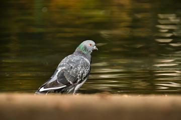 pigeon bizet oiseau plume parisien paris ville urbain étang par