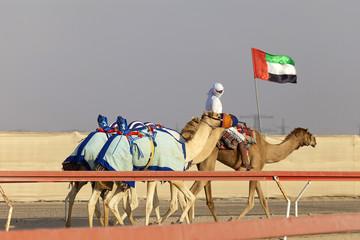 Camel race in United Arab Emirates