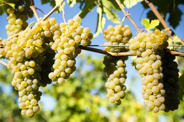 Organic Viognier Grape Okanagan Valley