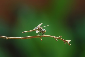 Dragonfly, insect, animal, nature,macro,bug.