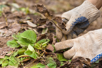 hands in gloves removing old leaves from strawberry