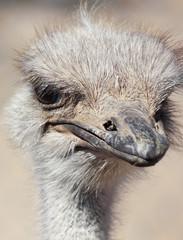 A Close Up Portrait of an Ostrich