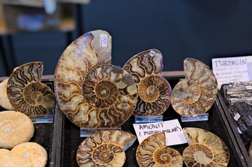 Ammonite snail polished cross section petrified collection of minerals