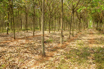 Rows of rubber trees