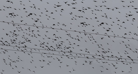 A flock of starlings attacking power lines