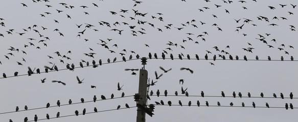 A flock of starlings, which sits on the wire