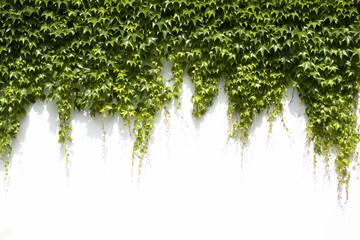 Obraz ivy leaves on a white background - fototapety do salonu