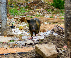 Pigs roaming free in the city of Bangalore India. These pigs are owned by local people who let them forage in the waste litter during the day and lock them in pens at night.
