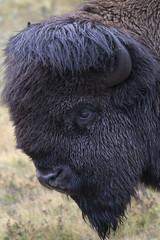 Bison portrait with green grass background