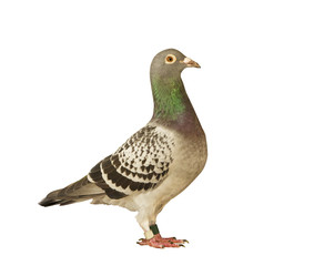 full body side view of speed racing pigeon bird isolated white b