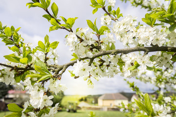Spring Blooming Branch with Green Leaves and Blurred Village on Background.