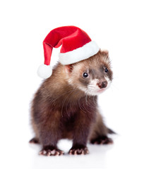 ferret in red christmas hat looking at camera. isolated on white
