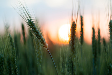 Field of wheat at sunset.