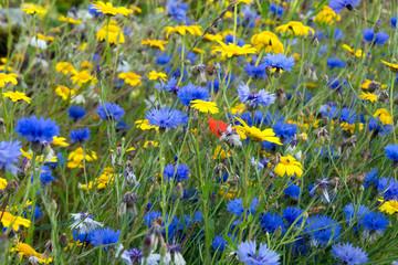 Scottish Cornflowers