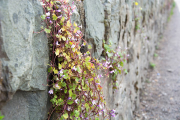Pink flowers growing in stone wall