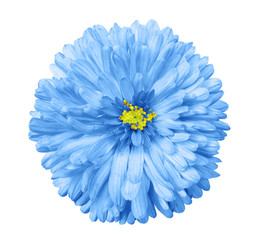 .blue flower, white isolated background with clipping path.  Closeup. no shadows.  yellow center.  Nature. Aster..