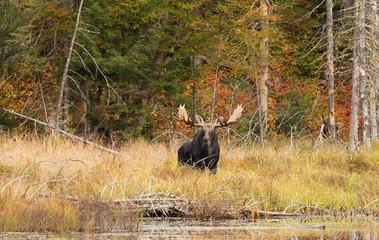 Bull moose feeding in a marsh in Algonquin Park