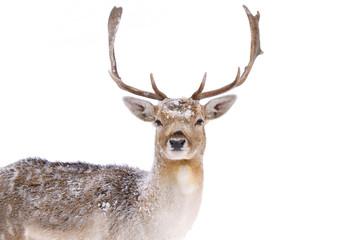 Fallow deer closeup in a winter field