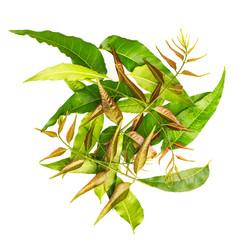 Margosa (also named as nim, neem tree, Melia, Azadirachta indica