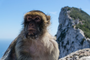 boss monkey sits on rock of gibraltar