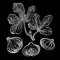 Fresh figs whole and half with leaves. Vector hand drawn graphic illustration. Design element for juice, jam sticker label, snack package design. Chalkboard drawing skethy style.