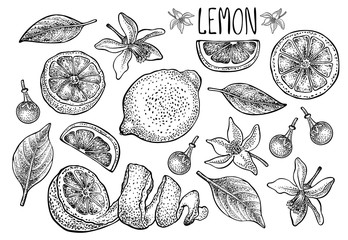 Lemon set. Vector hand drawn graphic illustration.