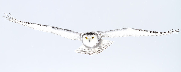 Snowy owl (Bubo scandiacus) isolated on a blue background flies low hunting over an open snowy field in Canada