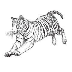 Tiger jump hand draw monochrome on white background vector illustration.