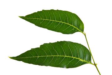 Margosa, nim or neem tree, genus Melia leaf isolated on white ba