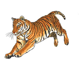 Tiger jump hand draw and paint color on white background vector illustration.