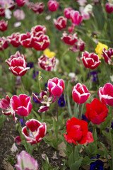 Tulip and many flower blossom in Floriade Canberra 2016