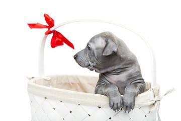 Thai ridgeback puppy in basket isolated on white