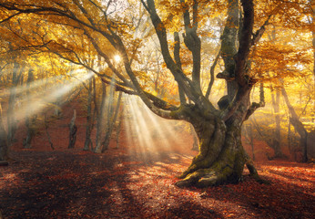 Wall Murals Forest Autumn forest in fog with sun rays. Magical old tree at sunrise. Colorful landscape with foggy forest, yellow sunlight, red foliage at sunrise. Fairy forest in autumn. Fall woods. Enchanted tree