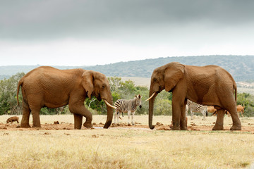 Bush Elephant lifting his leg while the other Elephant stare at