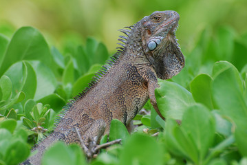 Brown Iguana in the top of a Green Shrub