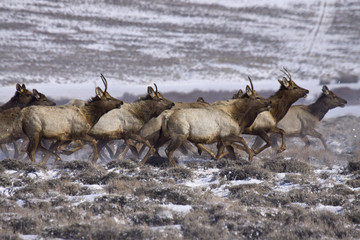 Into The Wind - An elk herd stampedes across the range against the wind.