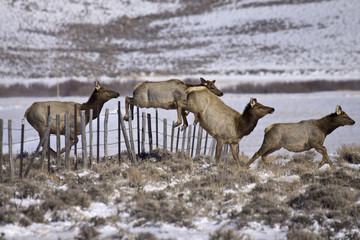 Over Easy - Elk easily jump a ranch fence as they stampede across the range.