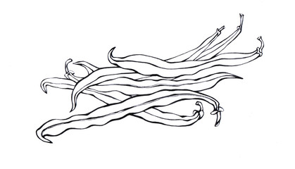 Green French beans. Hand drawn Black and white illustration vegetable on white backgroundŒ. Eco foods.