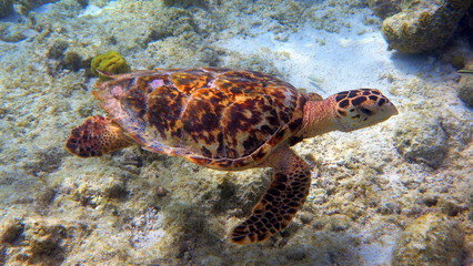 Hawksbill turtle with black and brown shell at bonaire
