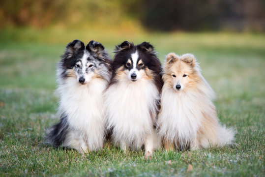 three sheltie dogs posing together outdoors