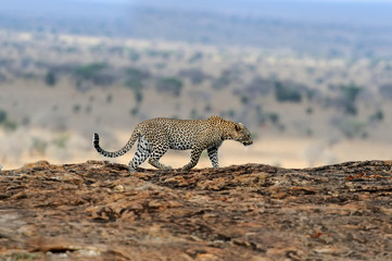 Leopard in National park of Kenya