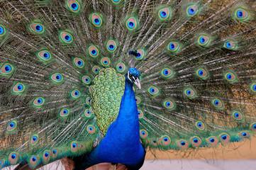 Portrait of beautiful pavo